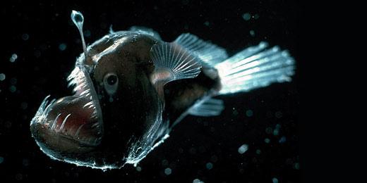 WidderAnglerfishLG