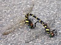 dragonfly-aokan