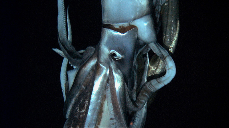 giant-squid-deep-sea